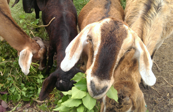 The Longmead goats
